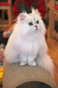 Silver persian kitty  Really like the extra fur on this cat's face.