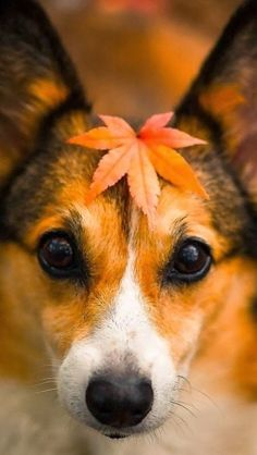 20 Cute Corgi Dog Pictures You Will Love Perros Wallpaper, Dog Wallpaper, Fall Wallpaper, All Dogs, I Love Dogs, Best Dogs, Cat Dog, Corgi Dog, Cute Puppies