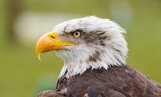 Gorgeous look  Yellow beak eagle