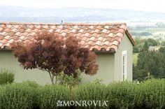 Royal Purple Smoke Tree - Monrovia - Royal Purple Smoke Tree