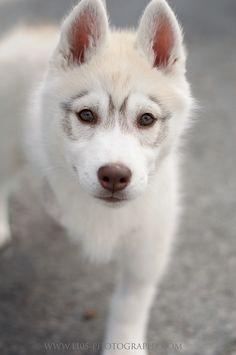 London Ontario Canada Pet Photographer   1105 Photography www.1105-photography.com Husky - Puppy