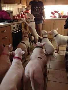 That is a house full of Bull Terriers! Lot of energy!