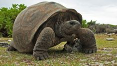 The Galápagos Islands are not the only place where giant tortoises roamed the Earth. Similar huge, shelled reptiles once lived on almost every continent Tortoise As Pets, Sulcata Tortoise, Giant Tortoise, Tortoise Shell, Reptiles, Mammals, Amphibians, Hermann Tortoise, Kawaii Turtle