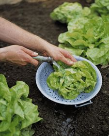 """""""Rinsing Vegetables"""" - instead of bringing garden veggies indoors to clean, rinse them outdoors as soon as you pick them & give the remaining crop an extra drink. Organic Gardening, Gardening Tips, Indoor Gardening, Water Saving Tips, Vegetable Garden Tips, Garden Guide, Garden Ideas, Garden Inspiration, Save Water"""