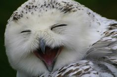 Laughing owl, Dublin Zoo, Ireland.