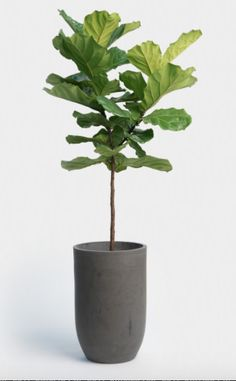 Fiddle leaf fig indoor plants we all like & are non-toxic to Ficus, Tree House Interior, Fiddle Leaf Fig Tree, Indoor Plant Pots, Office Plants, Growing Plants, Plant Decor, Trees To Plant, House Plants