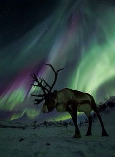 Reindeer under the aurora borealis. Wow.