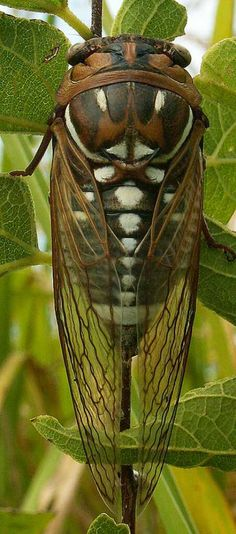 Cicada, love these, until the come crawling out of the ground and physically can't shut it