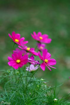 Cosmos Flowers, Flowers Nature, Spring Flowers, Wild Flowers, Flower Petals, My Flower, Amazing Flowers, Pretty Flowers, Flower Phone Wallpaper