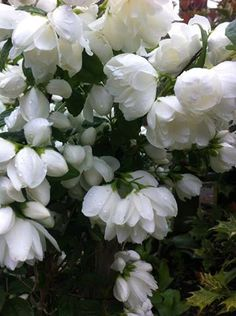 Philadelphus 'snowbelle' (mock orange) .....I've used this shrub in a of gardens now, for its gorgeous scent. It's medium sized and can be grown in the ground or a container on a patio .