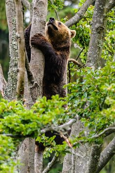 "Bear:  ""Time For Me to Climb This Tree... Enabling Me A View of  360 Degree."""