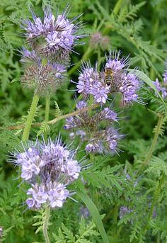 Gründüngung mit Phacelia verbessert nicht nur den Boden, sondern  hilft auch Bienen und Hummeln  http://www.gartensaison.de/html/grundungung.html
