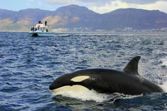 Killer Whale in False Bay, South Africa. BelAfrique your personal travel planner - www.BelAfrique.com