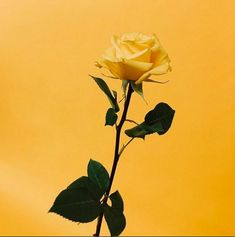 Do you like yellow rose? des Tages The post Magst du gelbe Rose? colour appeared first on Mustard yellow . Yellow Aesthetic Pastel, Rainbow Aesthetic, Aesthetic Colors, Pastel Yellow, Flower Aesthetic, Shades Of Yellow, Mellow Yellow, Yellow Roses, Aesthetic Pictures