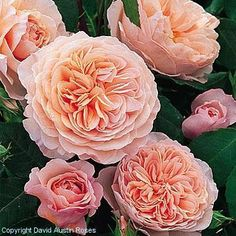 Love David Austin roses...have many in my garden!