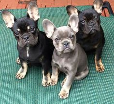 Beautiful French Bulldog Puppies