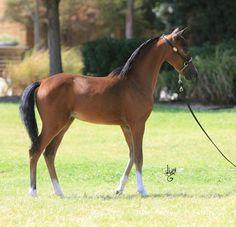 miniature horses | AMHR/ASPC Bay Filly