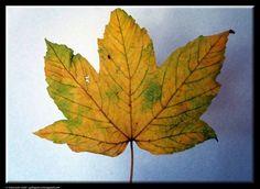 Leaf by Giancarlo Gallo