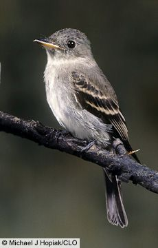 Eastern Wood Pewee/ We saw two at our home here in Central WV on 02-10-12