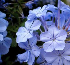 Periwinkle...I'm in love with periwinkle/ATTRACTS: Butterflies and Hummingbirds.
