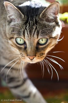 """""""With the qualities of cleanliness, affection, patience, dignity, and courage that cats have, how many of us, I ask you, would be capable of becoming cats?"""" ~Fernand Mery"""