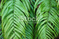 Native New Zealand 'Kiokio' Fern Royalty Free Stock Photo Abel Tasman National Park, Native Plants, Image Now, Ferns, Simply Beautiful, Lakes, New Zealand, Nativity, Plant Leaves