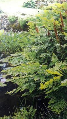 Osmunda regalis near a pond
