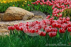 Flower bed with red and yellow tulips in the park