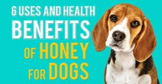 6 Uses and Health Benefits of Honey for Dogs Pet Nutrition, Animal Nutrition, Honey Benefits, Health Benefits, Nutrition Information, Nutritious Meals, Dogs, Pet Dogs, Doggies