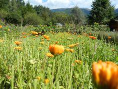 Bergila (Lago di Issengo) - Alto Adige #Flowers #Orange