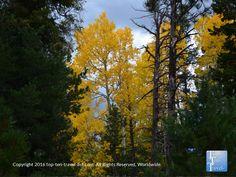 Striking yellow foliage along the Bear Jaw #hiking trail in #Flagstaff, Arizona.