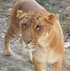 Liger at Shangahi Zoo in China. Ligers Grow 900 Pounds.