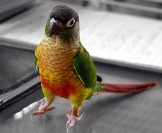 I want a pair of these little guys more than anything! Green cheeked conure.