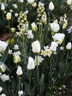 Creamy Dream  vory Bells' fritillaria looms over a combination of 'White Lady' daffodils and a mix of white tulips, including 'Spring Green', 'Pays Bas', 'Maureen', 'Sapporo', and 'White Parrot'. Low-growing 'White Splendor' anemone continues the white theme.    Test Garden Tip: Use light colors -- white, yellow, cream, and pastel pink -- to brighten shady areas.
