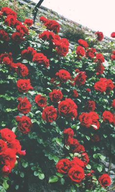 background, heart, hipster, iphone, nature, photography, red, roses, teenager, vintage, wallpaper, <3, First Set on Favim.com