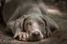 weimaraner | by Clockworkdog