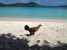 Friendly local chicken strolls along Lindquist Beach Penthouse Suite, St Thomas, Virgin Islands, Trip Advisor, Vacation, Chicken, Beach, Places, Travel