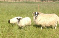 Schafwolle Wolle vom Scottisch Blackface, Spinnen, Spinnrad
