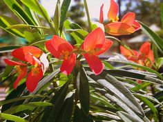 Euphorbia punicea, known as the Flame of Jamaica. Evergreen year-round flowering plant that is native to the sunny side of the island of Jamaica.(photo by JimNaples)
