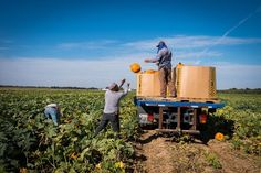 "Contractors hired by ""The Pumpkin People"" pick pumpkins on harvest day (photo by Jonathan Funk)"