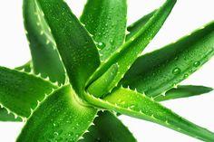 Lo Spignatto Simpatico: Aloe e proprietà