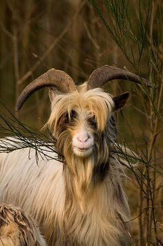 Goat with heavy bangs