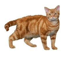 American Wirehair Cat Breeds - Purina®