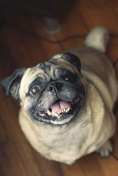 handsome pug (photo by Val Smith)