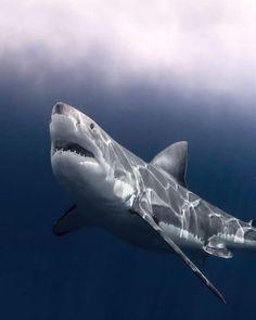 What a Beast unbelievable Monsterrrrr Cute Shark, Great White Shark, Majestic Animals, Animals Beautiful, Save The Sharks, Species Of Sharks, Shark Photos, Shark Bait, Underwater Creatures