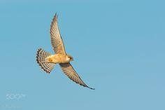 Cernicalo patirojo, Red-footed falcon, Falco vespertinus by Juan Carlos Fajardo Juan - Photo 129195207 - 500px