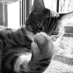 Did I say you could take my picture? I think not! #shy  #ohhellno #sillykitty #blackandwhite #sunday #badmood #cattitude #instadaily #instagood #ladybrennaoffairfax #cat #cats #catsofinstagram #catsagram #catsofworld #kitty #katzenworldblog #cats_of_instagram #catlover #bengal #bengalcat #bengalsofinstagram #bengal_cats #faithhopeloveandlucksurvivedespiteawhiskeredaccomplice #vais4bloggers #vafoodie #foodblog #foodblogger #virginia