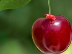 Photo about Sweet ripe cherry with a worm on a green bokeh background, closeup. Image of nutrient, folliage, food - 66047130 Worms, Bokeh, Lush, Berries, Cherry, Stock Photos, Vegetables, Fruit, Health