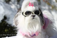 Maltese girl looking fabulous in her Doggles!