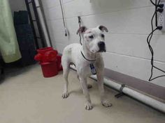 07/03/15-HOUSTON- This DOG - ID#A437284 I am a male, white and brown American Bulldog mix. My age is unknown. I have been at the shelter since Jul 03, 2015. This information was refreshed 57 minutes ago and may not represent all of the animals at the Harris County Public Health and Environmental Services.